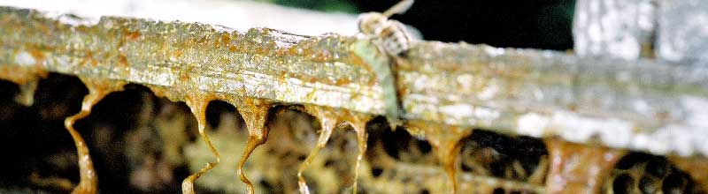 Closeup of bee propolis and artificial honey bee hive